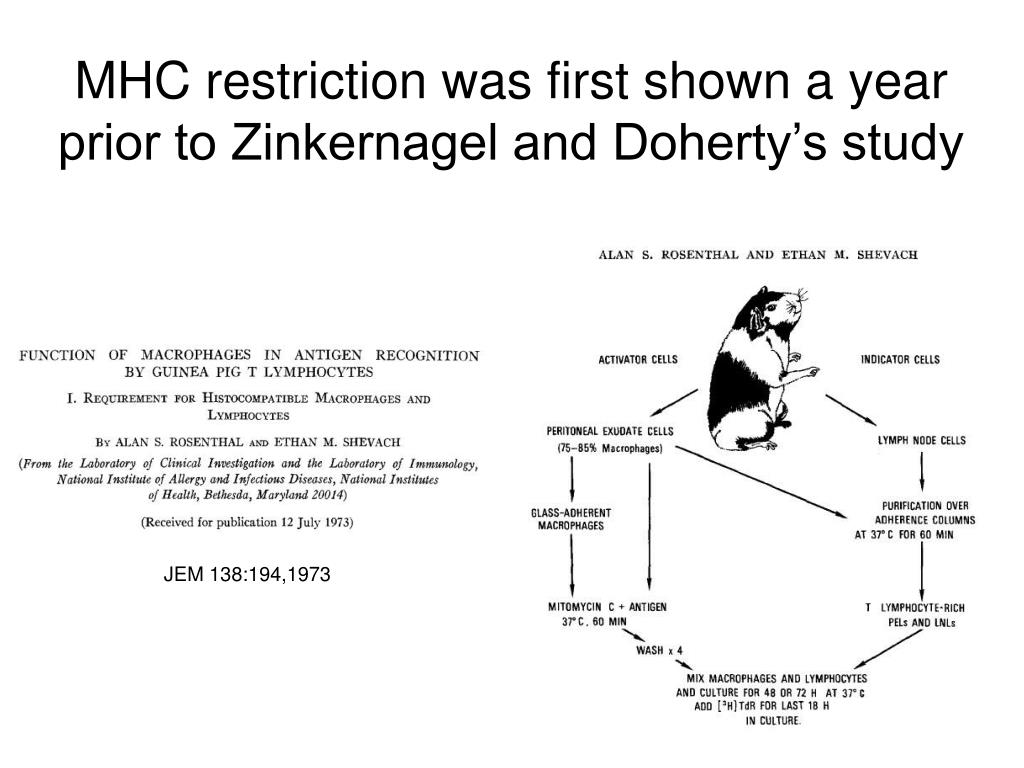 MHC restriction was first shown a year prior to Zinkernagel and Doherty's study