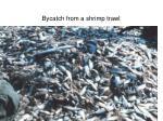 bycatch from a shrimp trawl