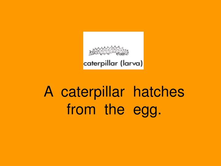 A  caterpillar  hatches  from  the  egg.