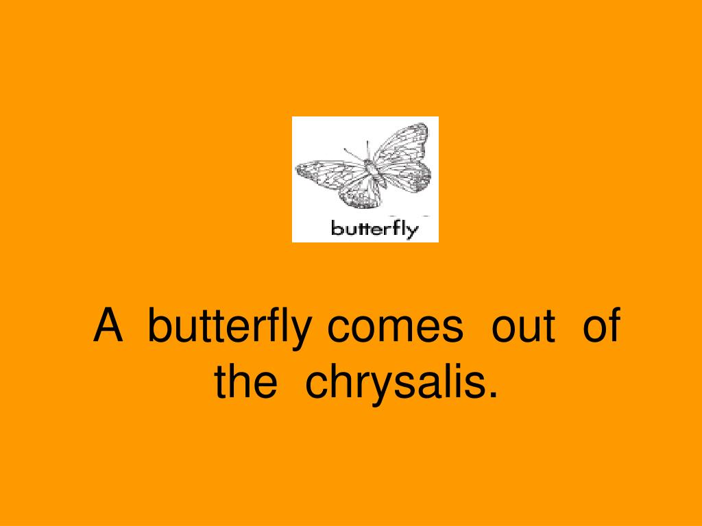 A  butterfly comes  out  of  the  chrysalis.