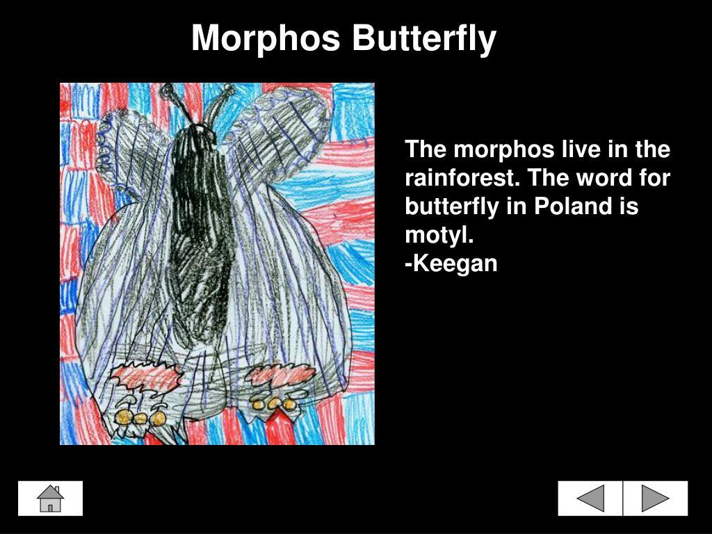 Morphos Butterfly