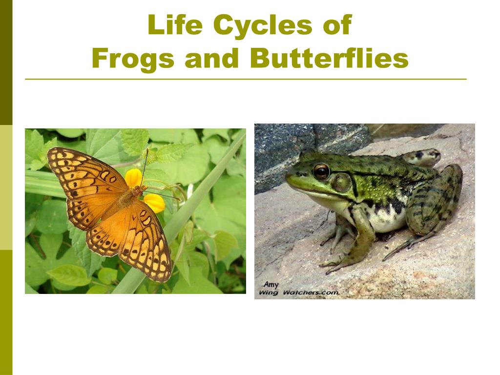 life cycles of frogs and butterflies l.