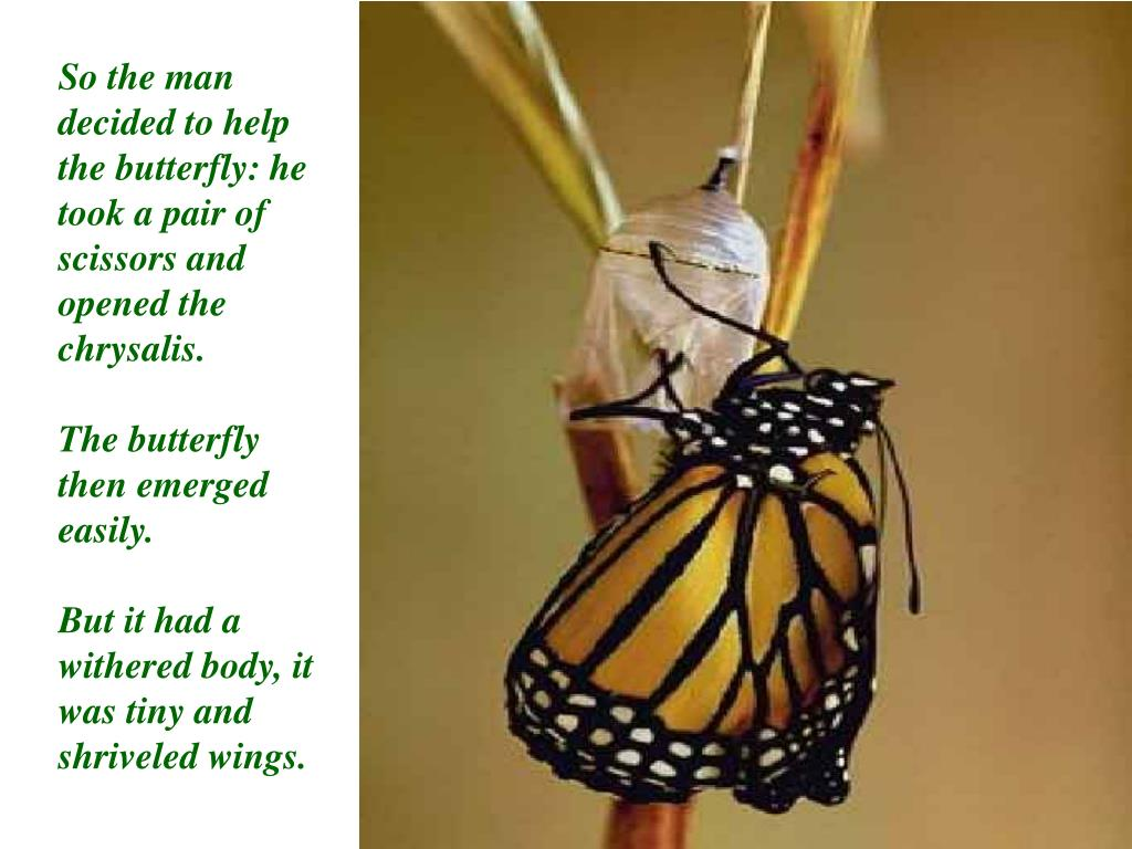 So the man decided to help the butterfly: he took a pair of scissors and opened the chrysalis.