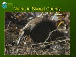 nutria in skagit county