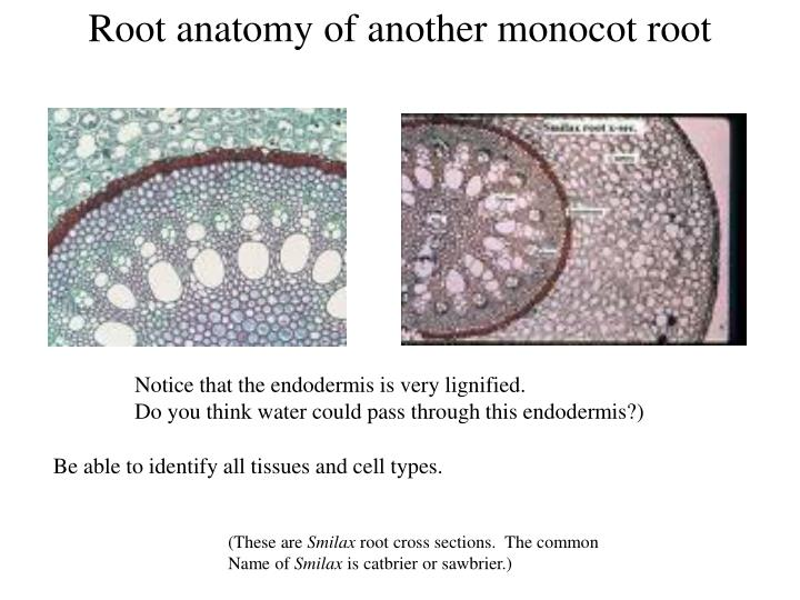 Ppt Root Meristems And Primary Tissues Powerpoint Presentation