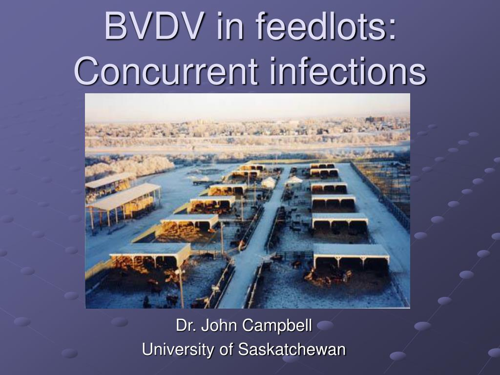 bvdv in feedlots concurrent infections l.