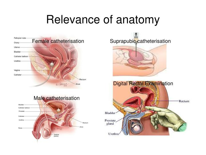 PPT - Urological Anatomy and Physiology PowerPoint Presentation - ID ...