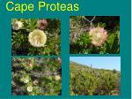 cape proteas