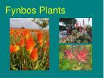 fynbos plants21