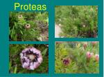proteas29