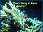 tube worms living in black smoker