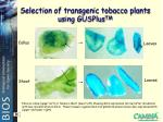 selection of transgenic tobacco plants using gusplus tm