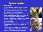 peach canker