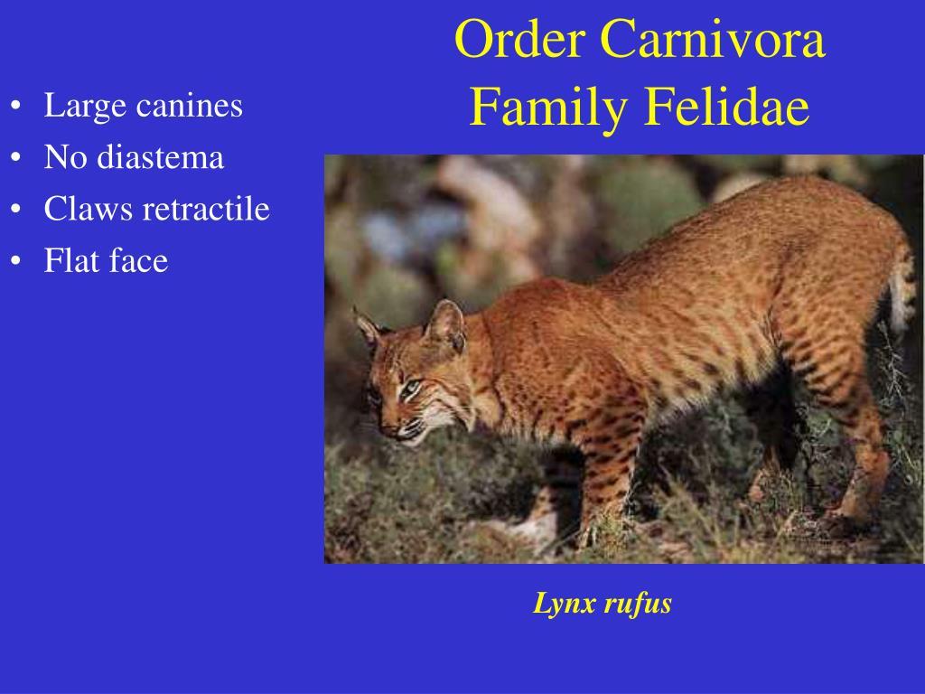 order carnivora family felidae l.