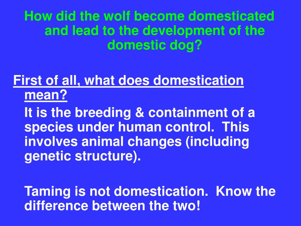 How did the wolf become domesticated and lead to the development of the domestic dog?