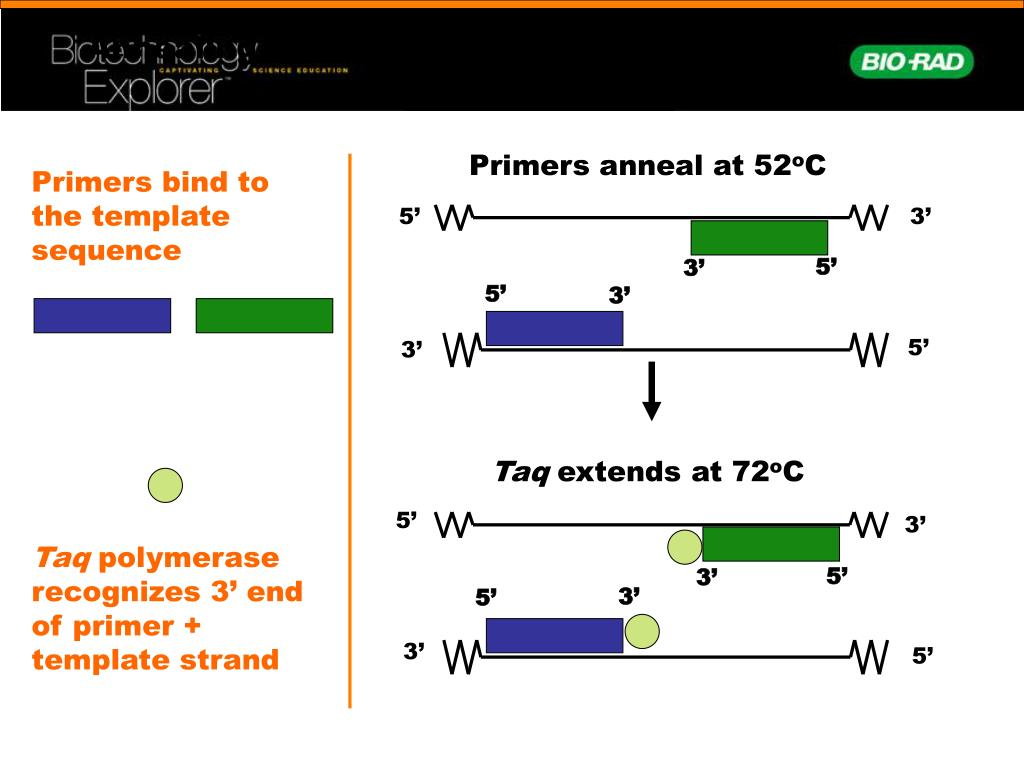 Annealing Primers