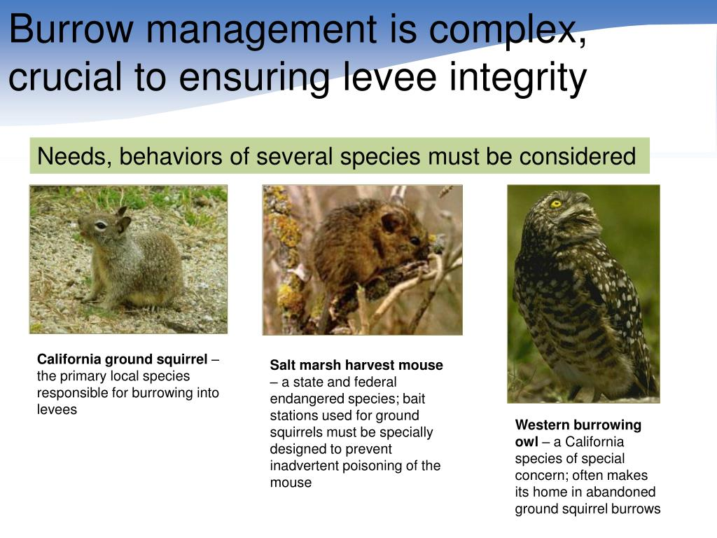 Burrow management is complex, crucial to ensuring levee integrity