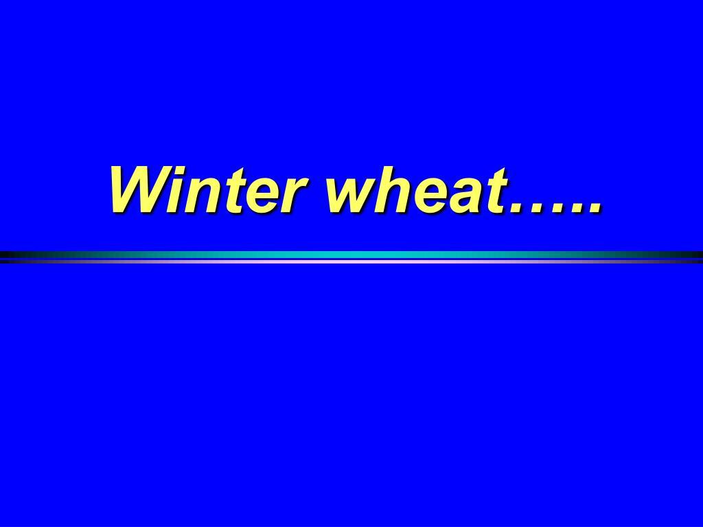 Winter wheat…..