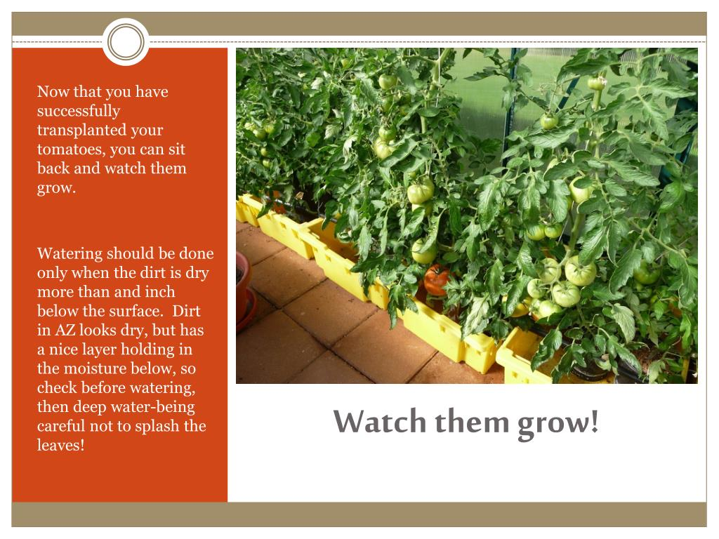 Now that you have successfully transplanted your tomatoes, you can sit back and watch them grow.