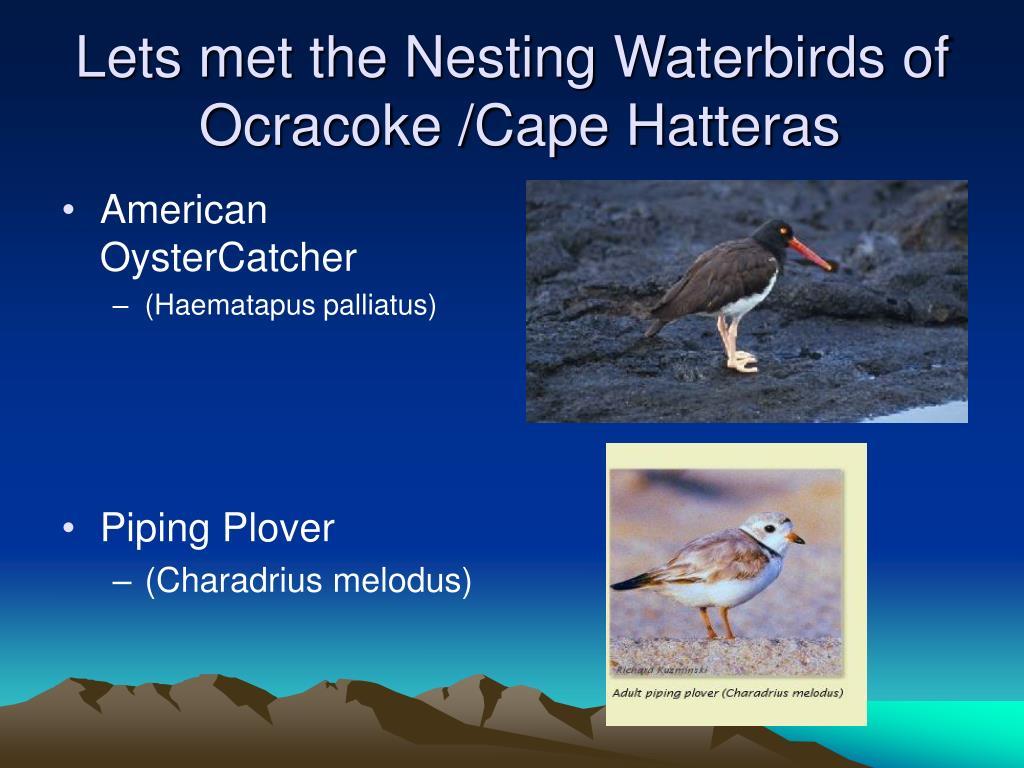 Lets met the Nesting Waterbirds of