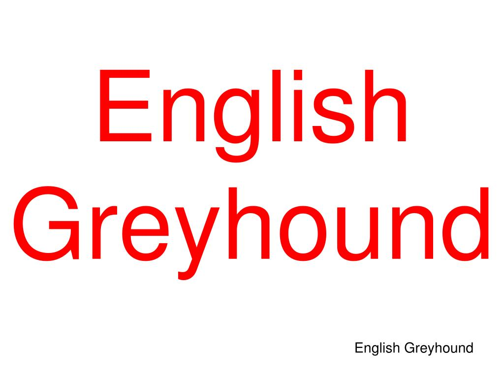 English Greyhound