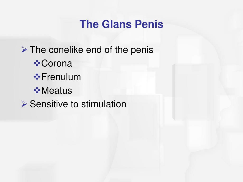 The Glans Penis