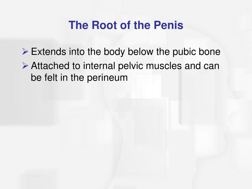 The Root of the Penis