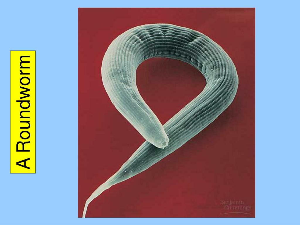 A Roundworm
