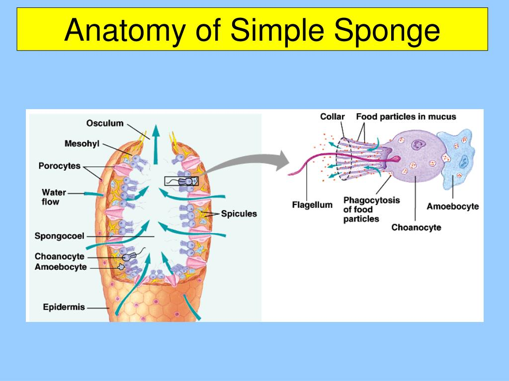 Anatomy of Simple Sponge