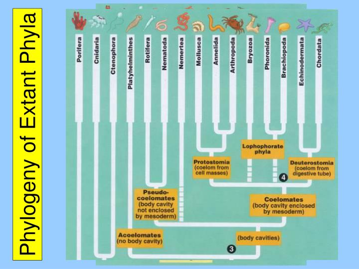 Phylogeny of extant phyla