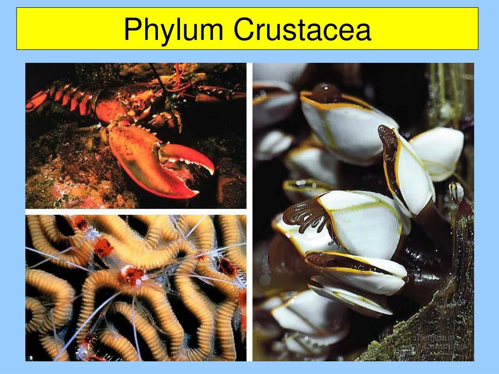 Phylum Crustacea