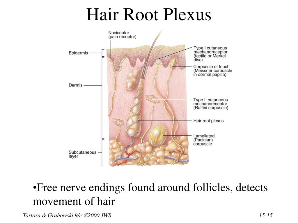 Hair Root Plexus