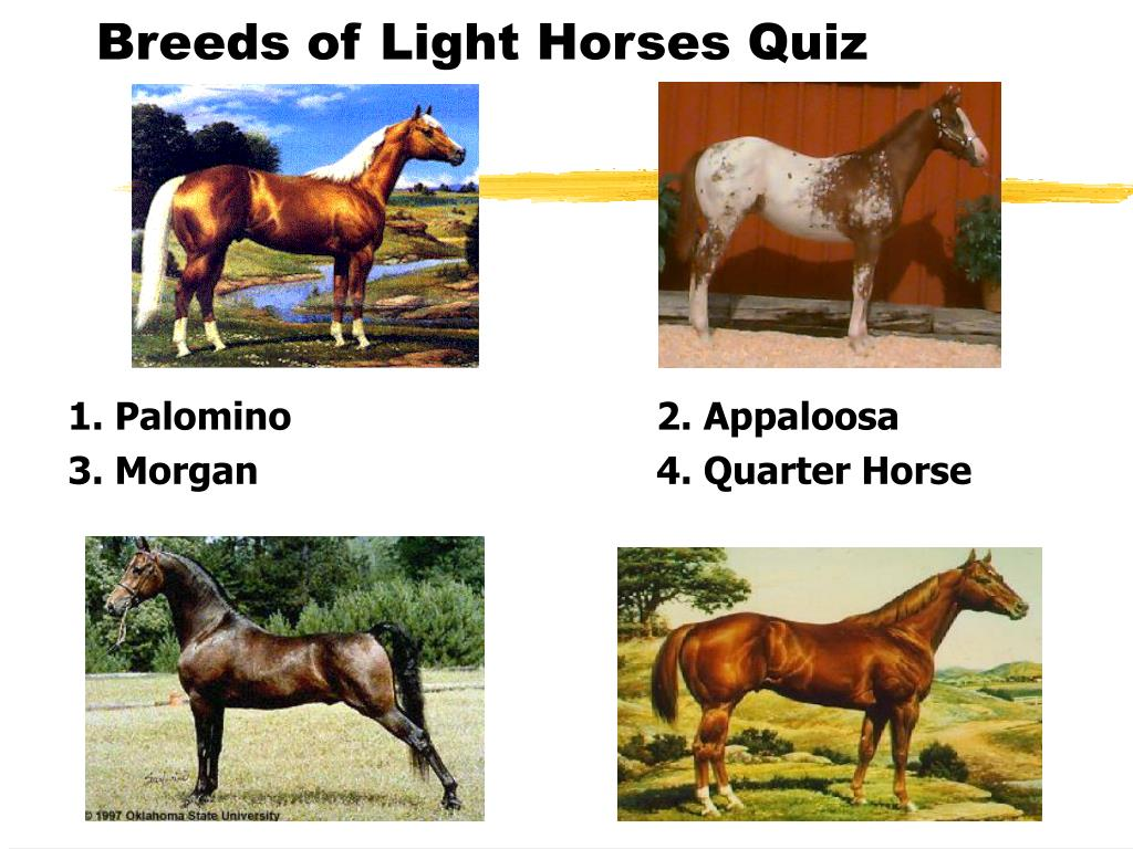 Breeds of Light Horses Quiz