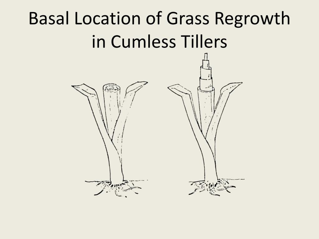 Basal Location of Grass Regrowth in Cumless Tillers