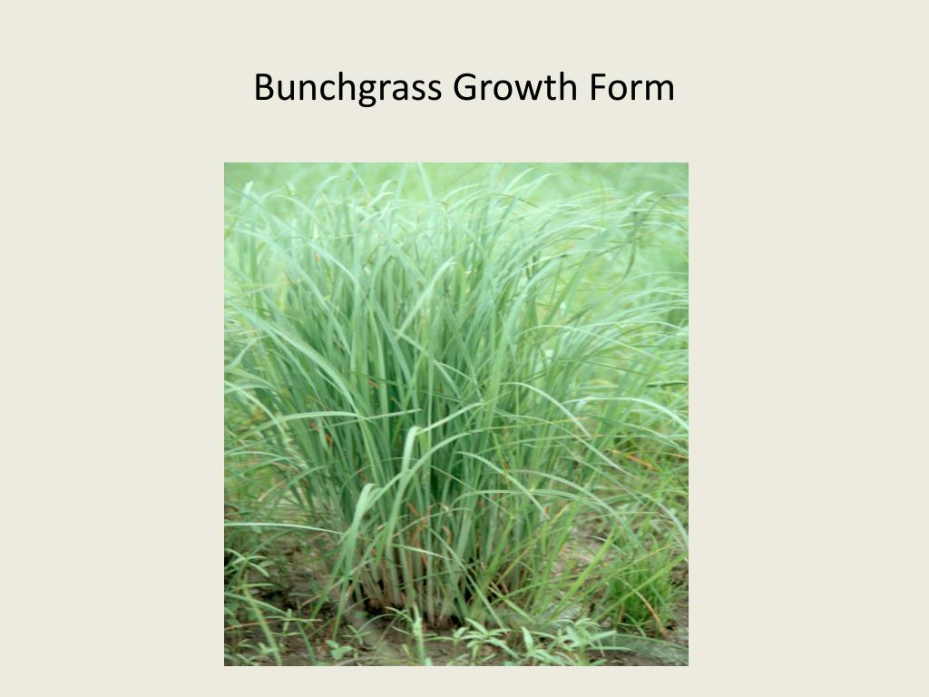 Bunchgrass Growth Form