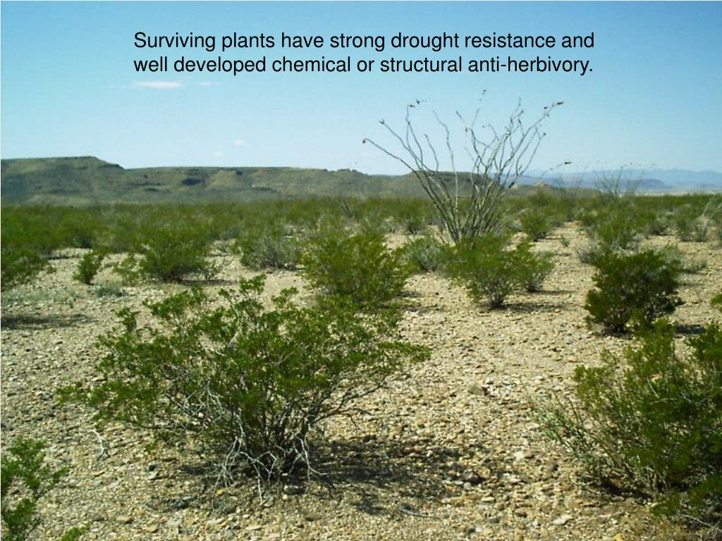 Surviving plants have strong drought resistance and well developed chemical or structural anti-herbivory.