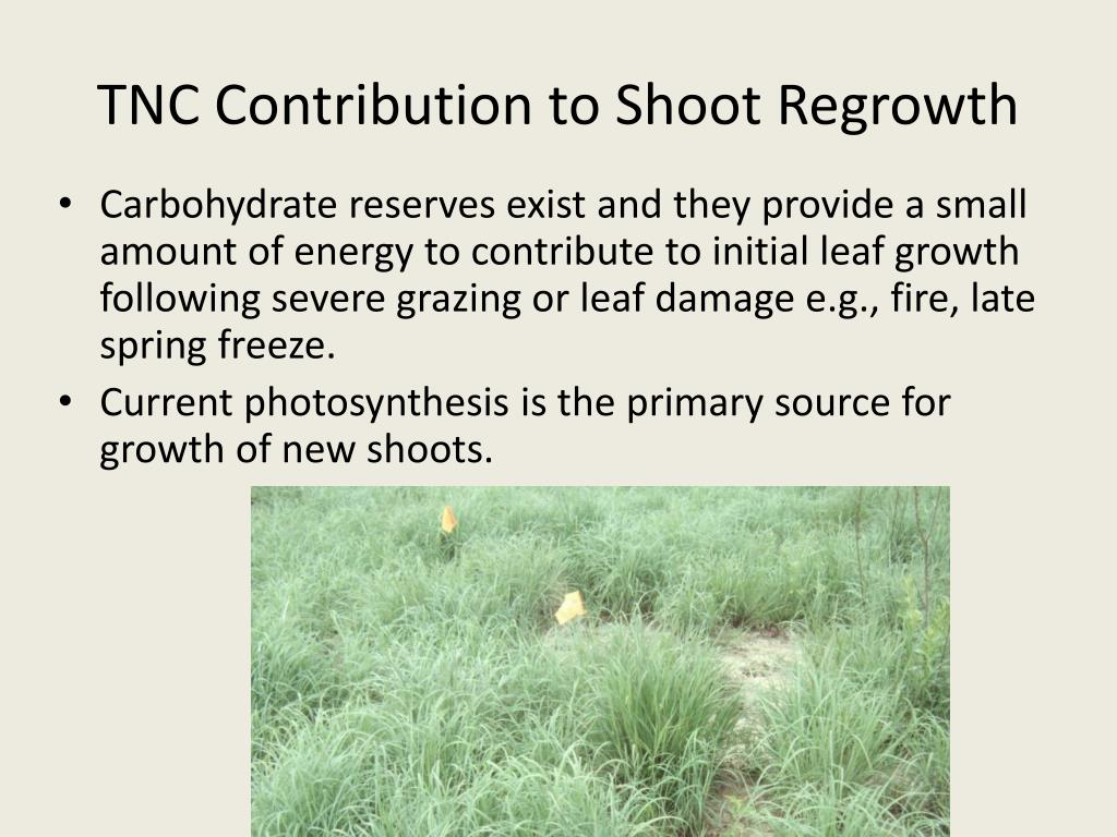 TNC Contribution to Shoot Regrowth