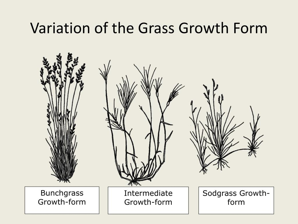 Variation of the Grass Growth Form