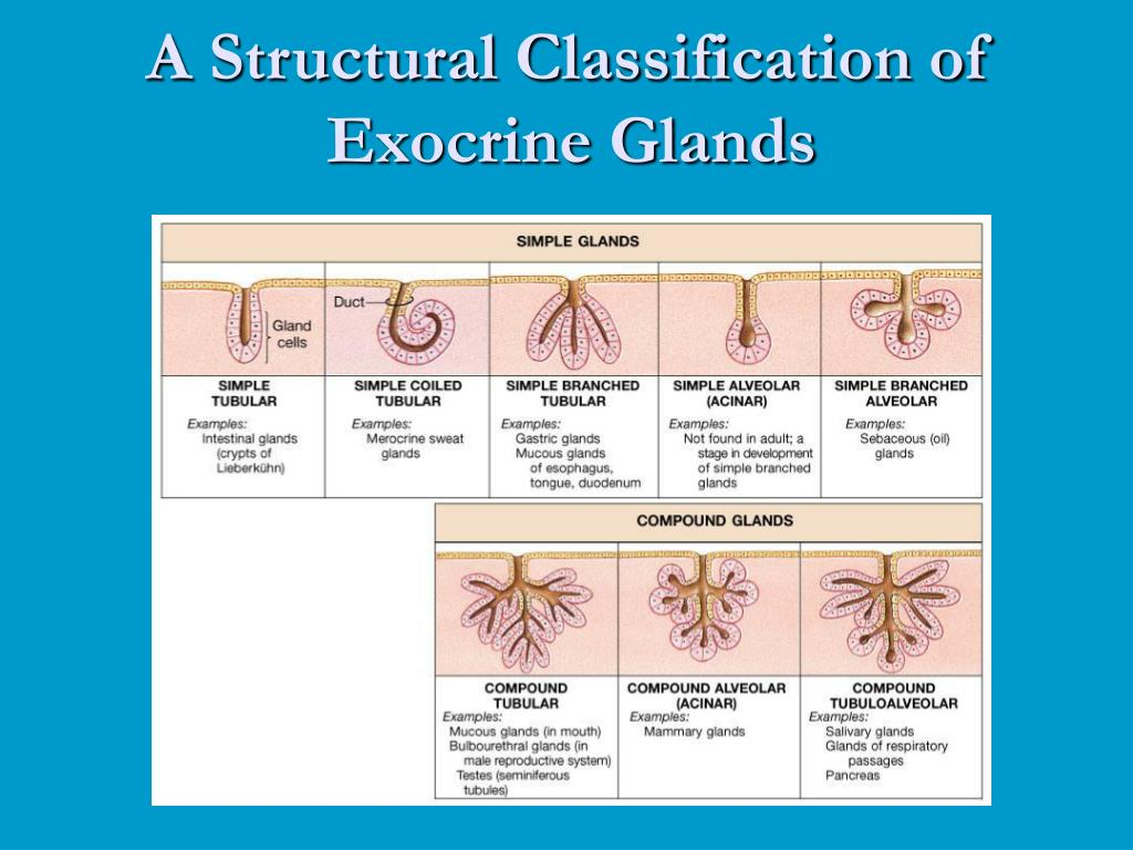 A Structural Classification of Exocrine Glands