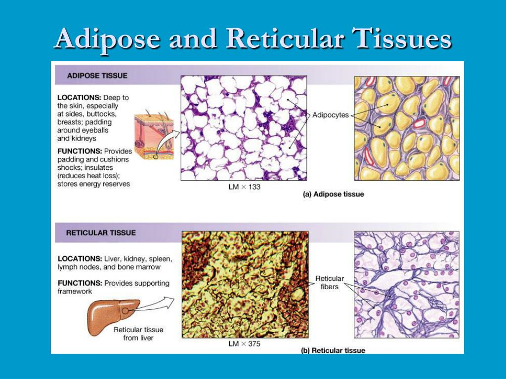 Adipose and Reticular Tissues
