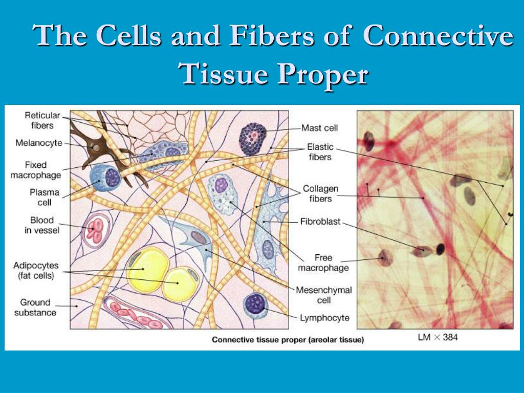 The Cells and Fibers of Connective Tissue Proper