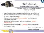 trichuris muris mouse whipworm infection parasite model of the human parasite trichuris trichuria
