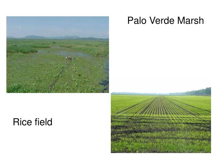 Palo Verde Marsh