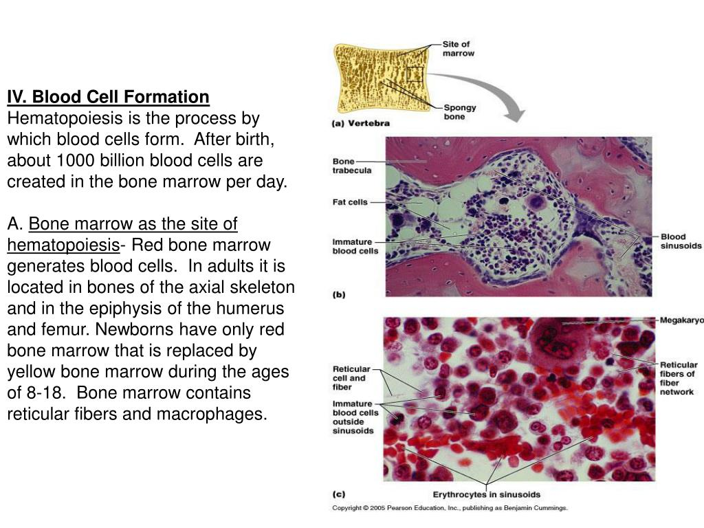 IV. Blood Cell Formation