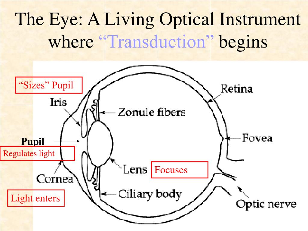The Eye: A Living Optical Instrument
