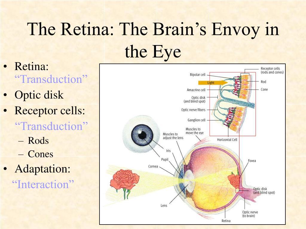The Retina: The Brain's Envoy in the Eye