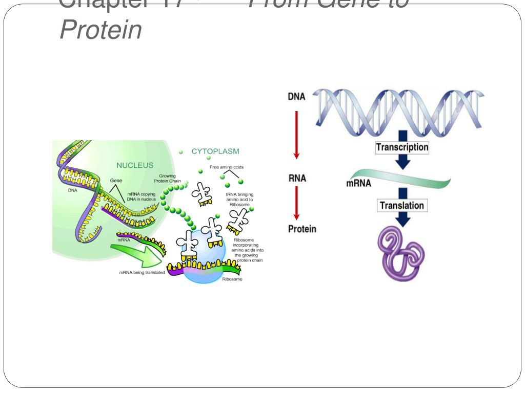 chapter 17 from gene to protein l.