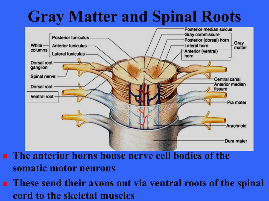 Gray Matter and Spinal Roots
