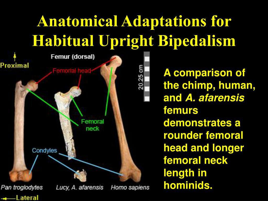 Anatomical Adaptations for Habitual Upright Bipedalism