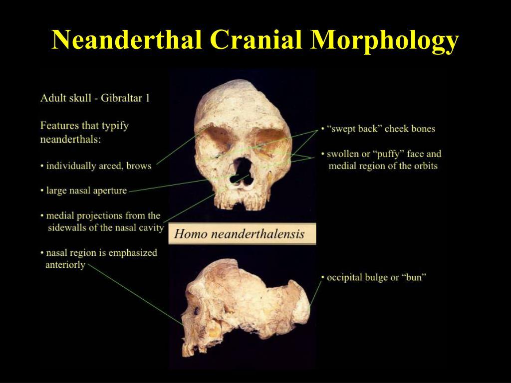 Neanderthal Cranial Morphology
